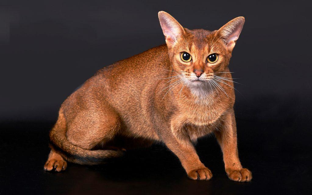 Как и чем кормить абиссинского котенка: питание от рождения до года, натуральное или промышленное кормление